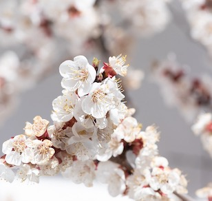 Apricot blossom: The fragrance and sweetness all bred by time
