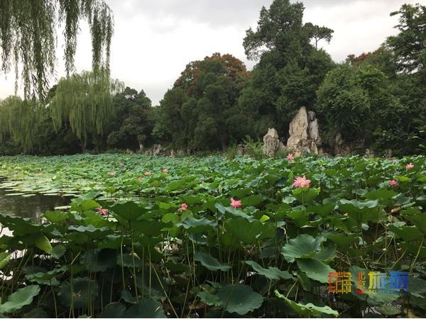 暑期中的清华荷塘,花开正艳