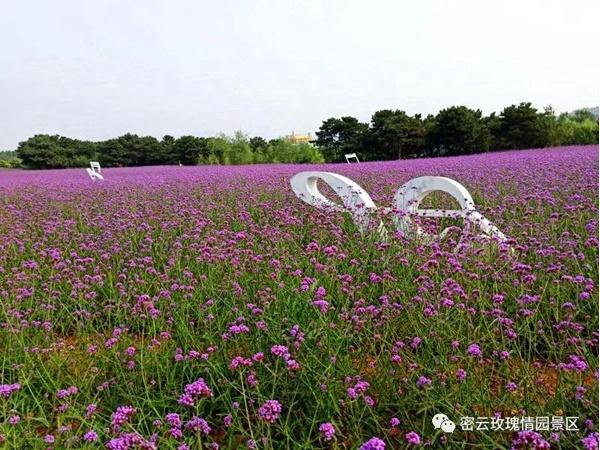 밀운 장미정원, 보랏빛 꽃바다 경관 형성
