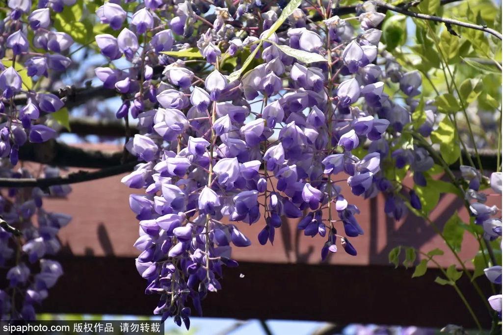 京城紫藤花开:颐和园