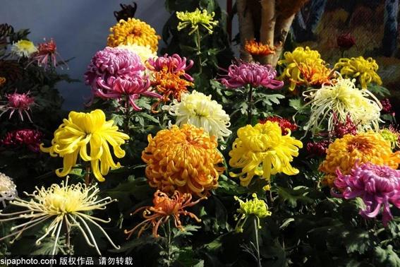 美哭!600000株800个品种的菊花!北京秋日赏菊盛宴,展区位置、门票信息一文读懂!