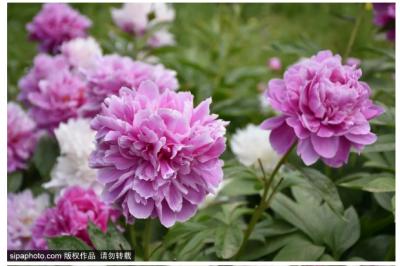 惊艳!北京这里有片小众花海,美爆整个初夏!