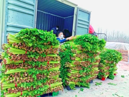 220多万斤芹菜找到买家 菜农利益获保障