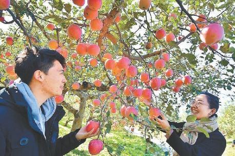 昌平苹果文化节开幕,四条采摘线路感受丰收喜悦