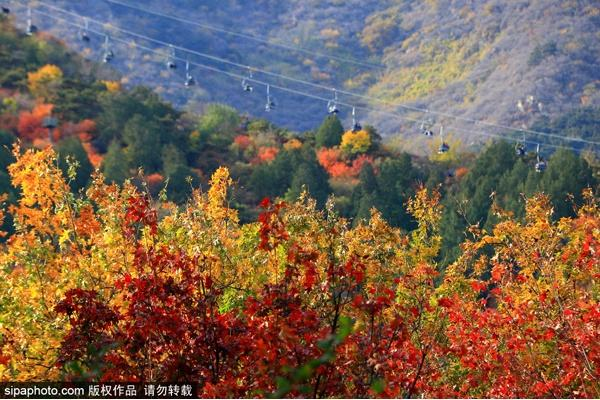 北京实施增彩延绿工程 新增彩叶林40余万亩