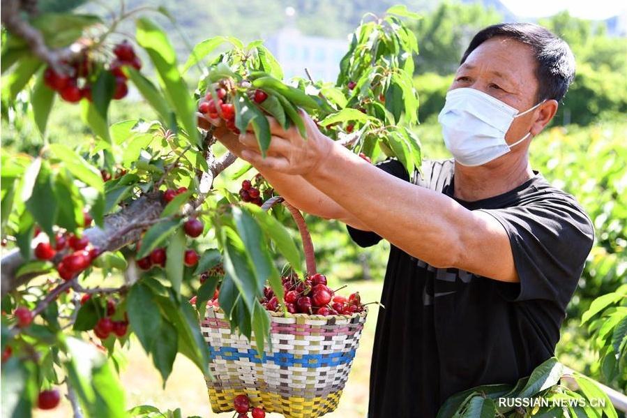 Сбор черешни в пекинском районе Хайдянь