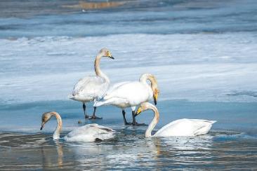 河北滦平连续5年发现天鹅驻足