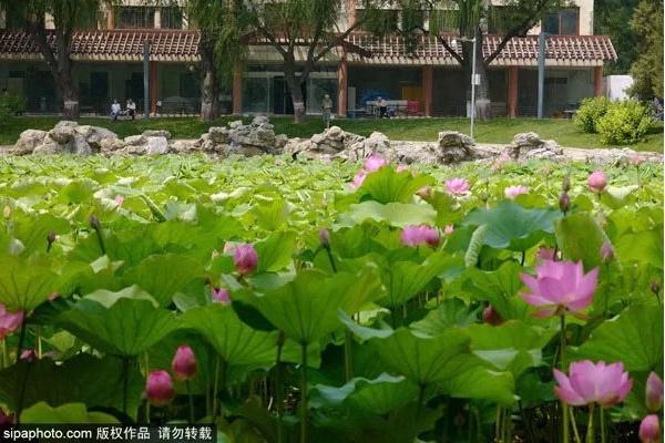 """來京城這些公園,""""誤""""入藕花深處賞最美的夏日風荷"""