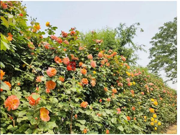 北京惊现千米花墙,这个大花园最适合520去了!我送票,你负责浪漫!