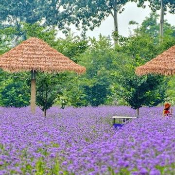 藍調莊園:身處一場如癡如醉的紫色夢境