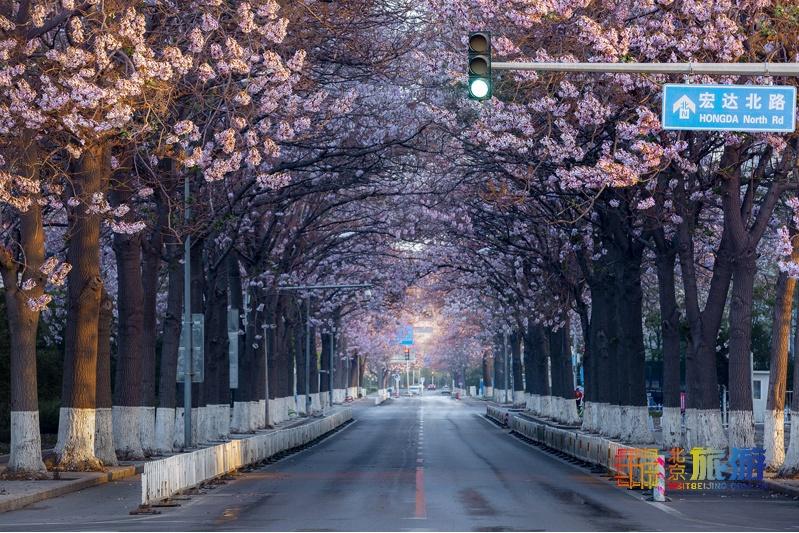 花の香が漂う北京を歩く旅:桐の花篇