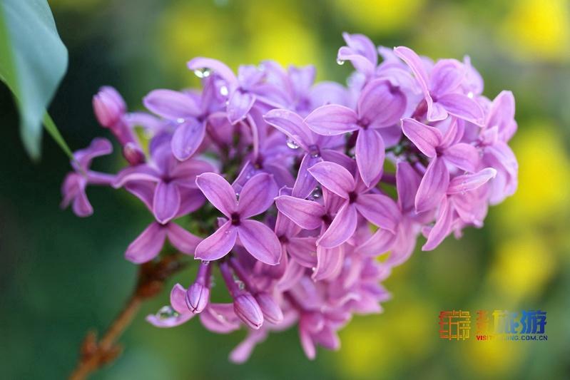 花の香が漂う北京を歩く旅:ライラック篇