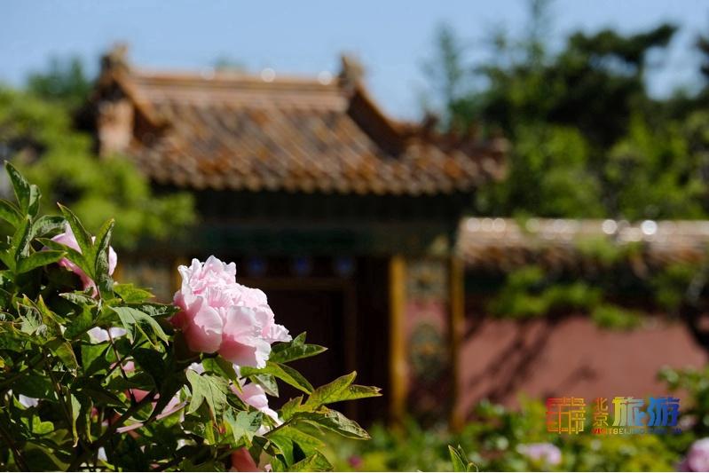 花の香が漂う北京を歩く旅:牡丹篇
