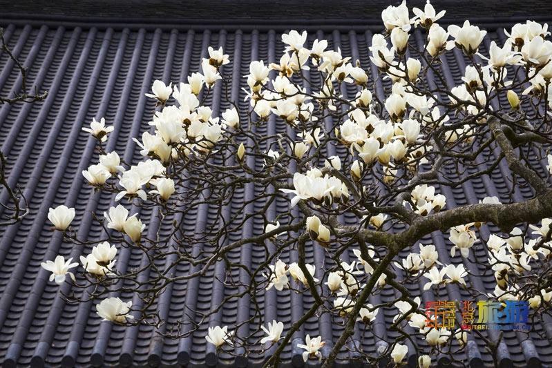 花の香が漂う北京を歩く旅:モクレン篇