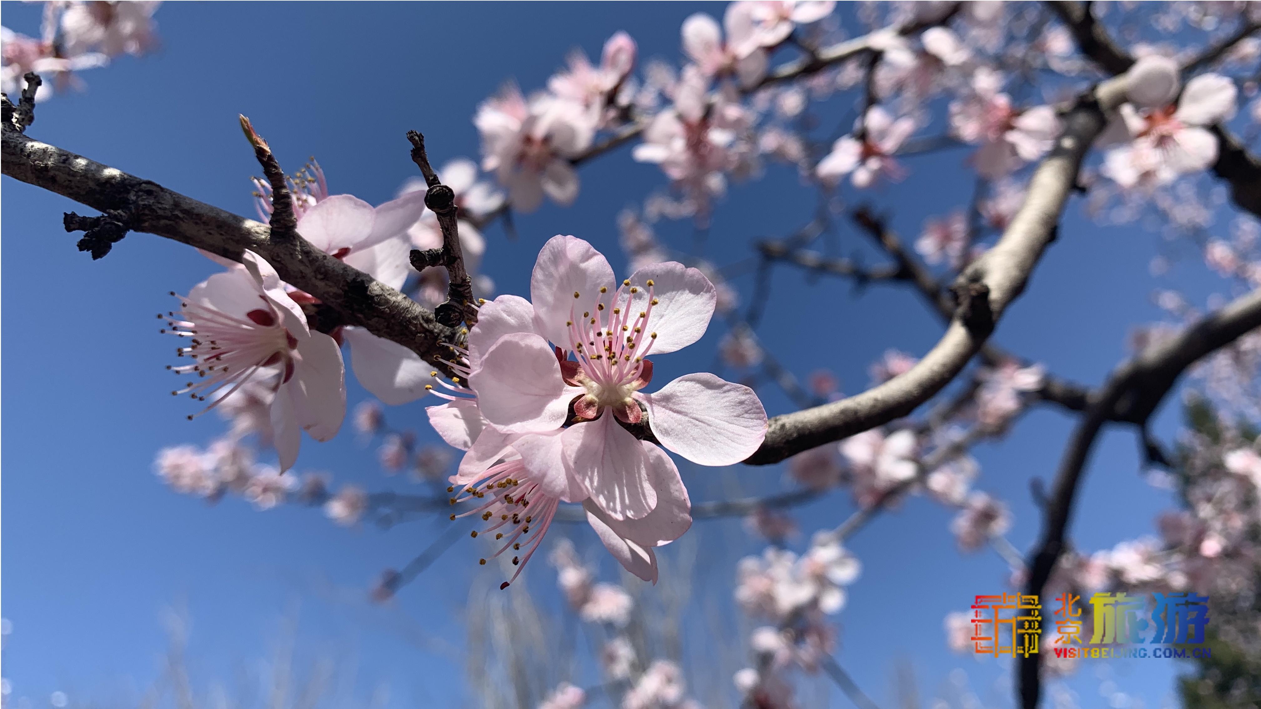 Las flores del melocotón