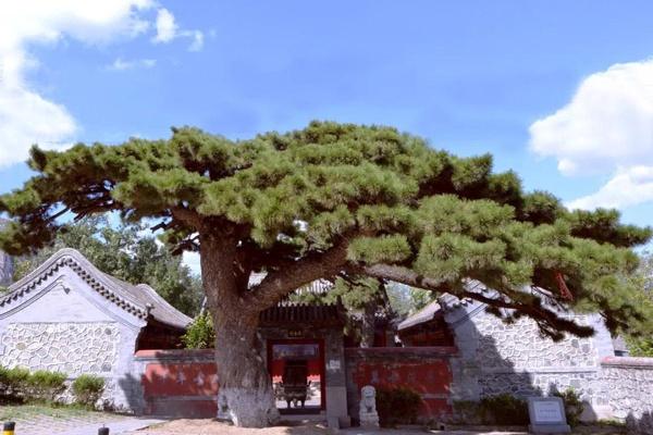 北京最美十大樹王之一:海淀區車耳營迎客松