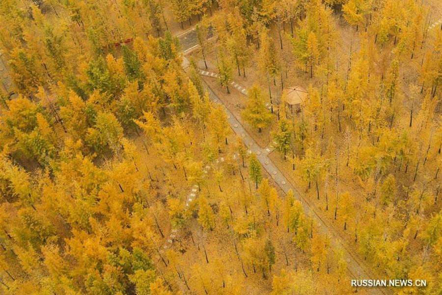 Гинкговый лес в Северном Китае