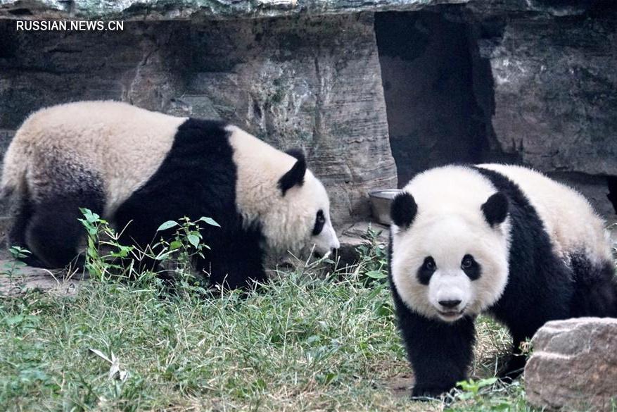 Самки-близнецы большой панды Мэнбао и Мэнъюй обосновались в Пекинском зоопарке