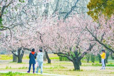 天壇公園北門杏花盛放 層層疊疊如同云霞