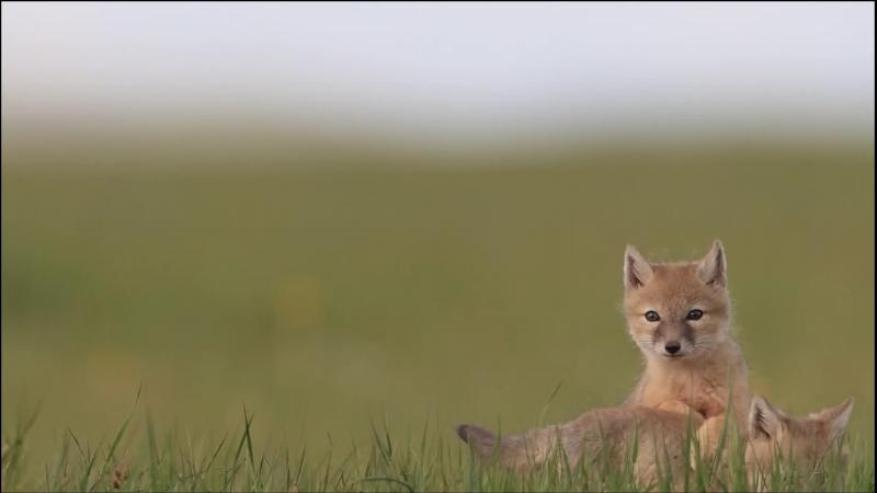额尔古纳:狐狸△兄弟的快乐童年