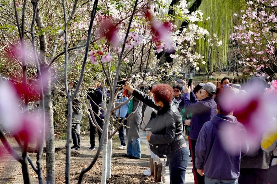 """清明三天,北京市屬公園迎客164萬!節后,將迎來第二輪""""游園花潮""""!"""