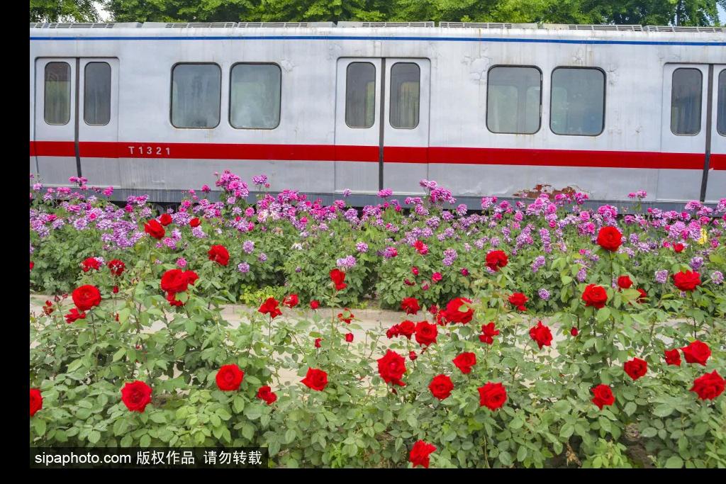 北京地铁居然悄悄开进了公园,月季花海中的列车美爆夏天!