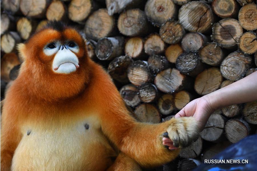 Золотистая обезьяна в гостях у сельских жителей