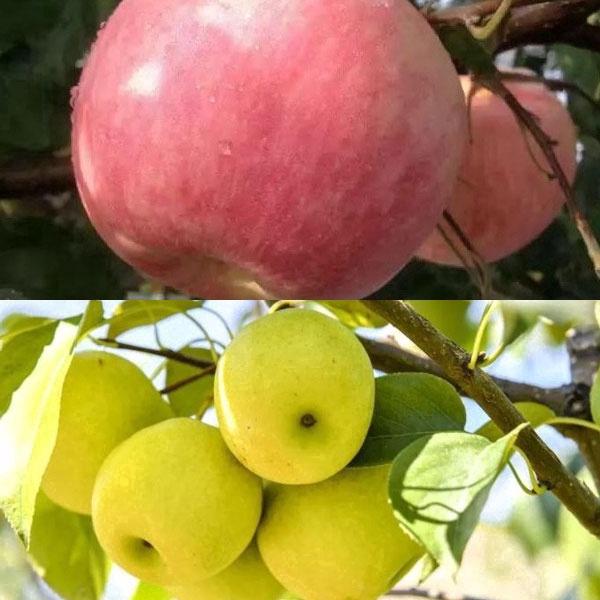가을 수확, 배와 사과 채집
