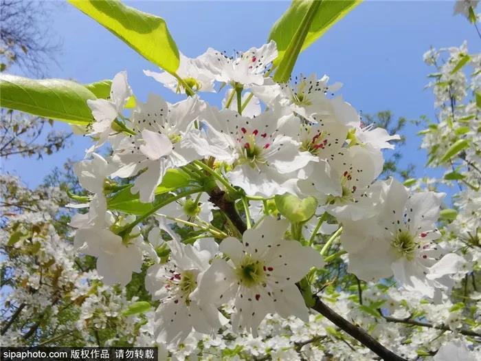京城這幾個地方梨花已開!周末約起!