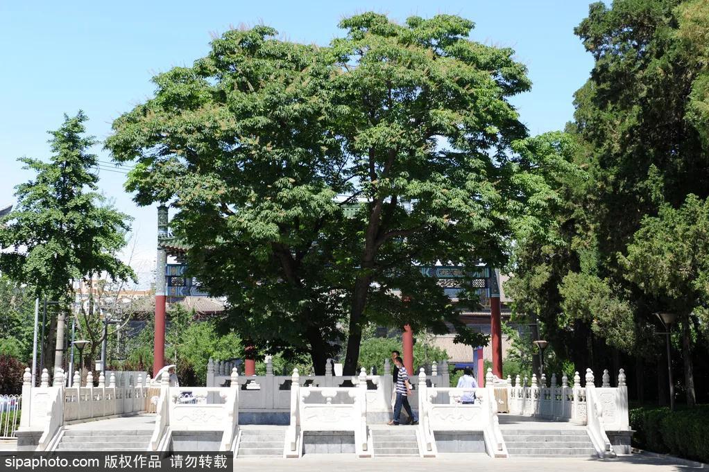 罕见300年菩提古树开花,北京市内仅此一株!