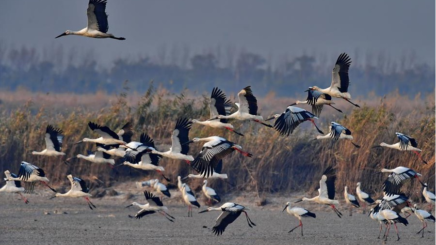 Oriental white storks seen at Caofeidian wetland in N China's Hebei