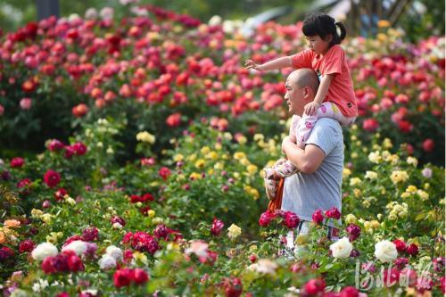 河北廊坊:漫步月季花园 畅享幸福生活