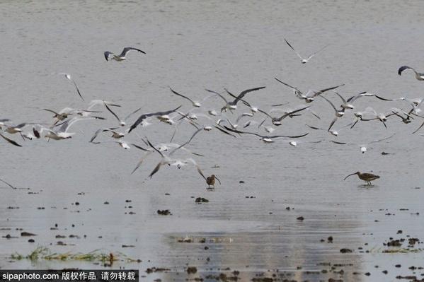 20万只候鸟飞抵北大港