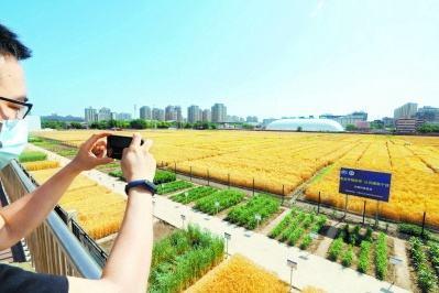 京城北三环麦浪滚滚