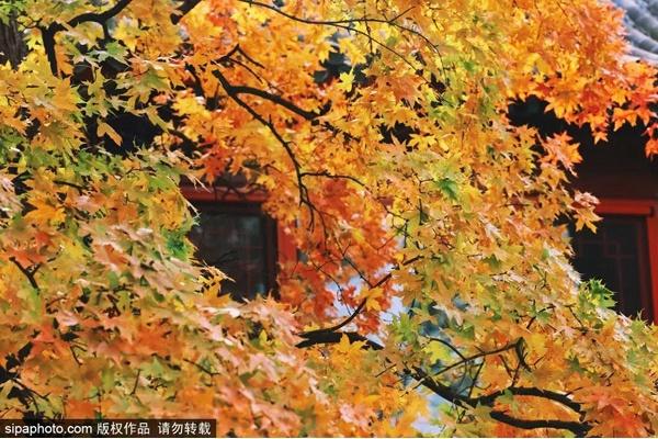 錯過再等一年!您的賞秋余額已不足!抓緊最后時間,來京郊感受秋色吧!