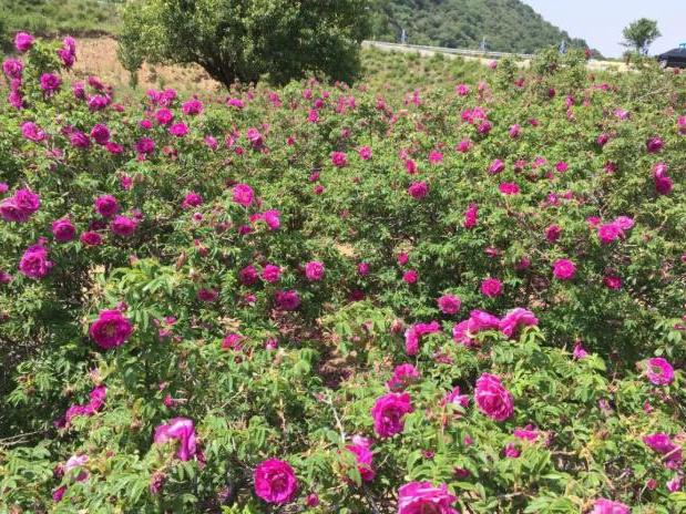 묘봉산 장미꽃 감상기 초여름