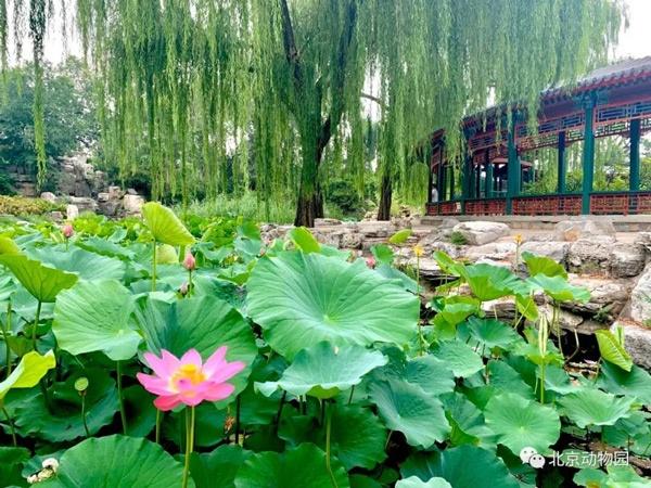 北京动物园被荷花惊艳的夏日!