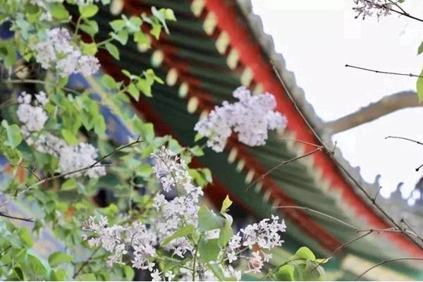"""""""Visitar"""" los Templos Antiguos y Contemplar la Floración en Primavera"""