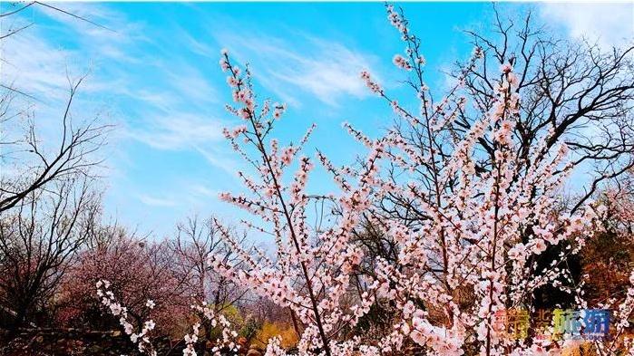 萬畝桃花!北京這個地方已經美出天際了,假期去正好~
