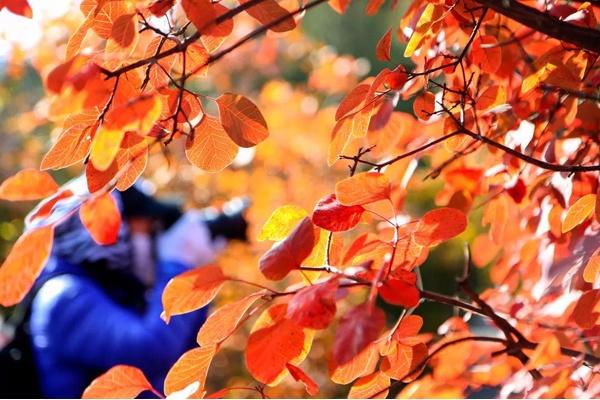 八達嶺國家森林公園五萬畝彩葉已達最佳觀賞期