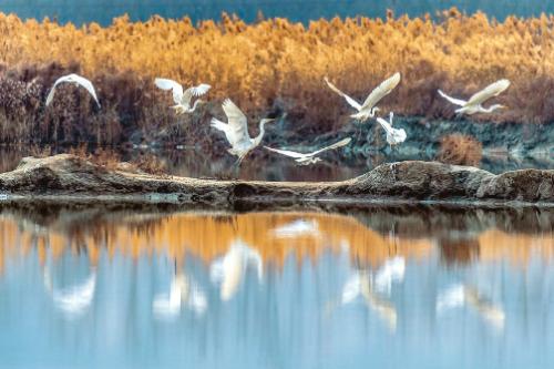 鹽湖上 白鷺飛