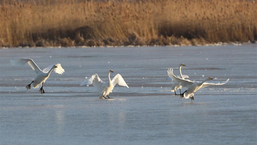 Guanting reservoir becomes transit place, habitat for migratory birds