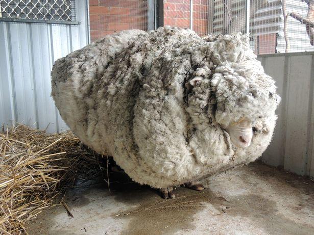 澳大利亚10岁网红绵羊去世 曾一次剪下80斤羊毛(图)